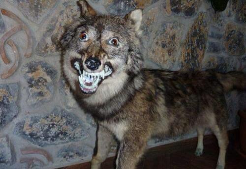 wolf down.jpg
